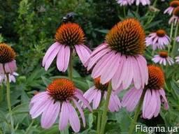 Продам Эхинацея цветок, траву с цветом и корень