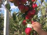 Гарні яблука з саду оптом - фото 2