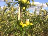 Гарні яблука з саду оптом - фото 3
