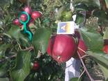 Гарні яблука з саду оптом - фото 4