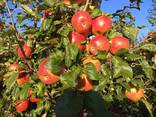 Гарні яблука з саду оптом - фото 6