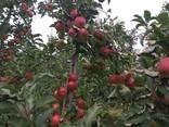 Гарні яблука з саду оптом - фото 8