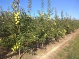 Гарні яблука з саду оптом - фото 9