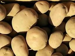 Продам картошку , картофель. . ОПТ.