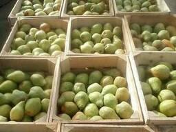 Продам грушу оптом від 5 т