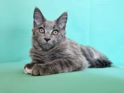 Продам хорошенького котенка мейн-куна