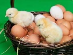 Продам інкубаційне яйце бройлера КОББ 500 та мясояєчних порід