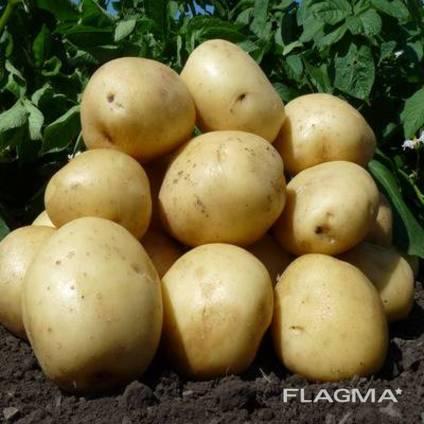 Продам картофель.