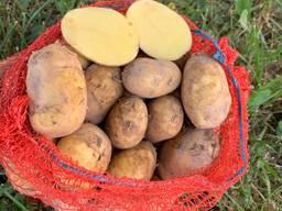 Продам картофель Коломбо