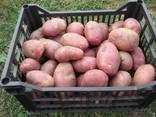 Продам картофель семенной ДО 20 Сортов постоянно в наличии - фото 3