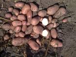 Продам картофель семенной ДО 20 Сортов постоянно в наличии - фото 8