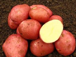 Продам картоплю Белла Росса 20 тон