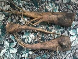 Продам корень лаконоса, ягоды и листья, (фитолакка)
