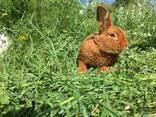 Продам кроликов Новозеландский красный НЗК - фото 1