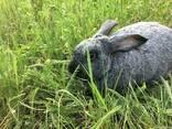 Продам кроликов Полтавское серебро - фото 1