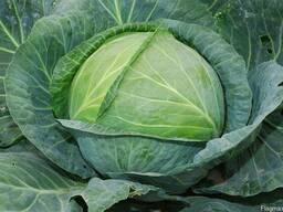 Продам крупным и мелким оптом семена капусты