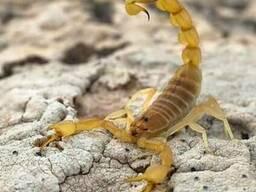 Продам крымские скорпионы (Euscorpius tauricus)