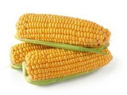 Продам, Купить семена кукурузы КРЕДО