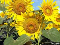 Продам, Купить семена подсолнечника Параизо под Євро-лайтн