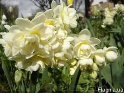Продам луковицы Нарциссов и много других растений