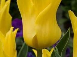 Продам луковицы Тюльпанов Лилиевидных и много других растени