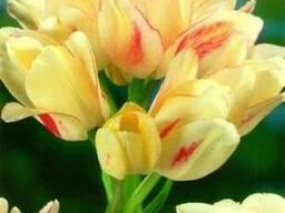 Продам луковицы Тюльпанов Мультифлора