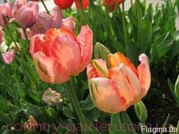 Продам луковицы Тюльпанов Попугайных и много других растений