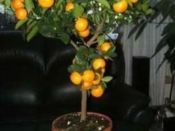 Продам Мандарин в горшках, комнатное растение