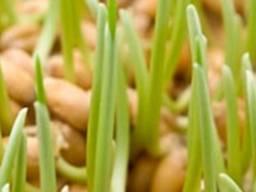 Продам масло зародышей пшеницы