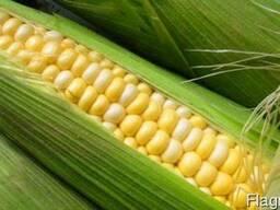 Продам насіння гібриду кукурудзи ГРАН 6(ФАО 300)