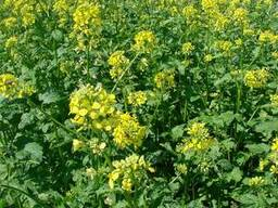 Продам насіння гірчиці чорної власного виробництва