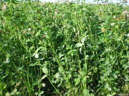 Продам насіння конюшини власного виробництва