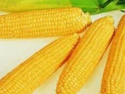 """Продам насіння кукурудзи """"РІВ`ЄРА"""" (гібрид)"""