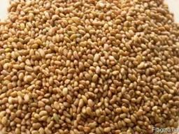 Продам насіння люцерни власного виробництва