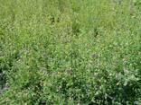 Продам насіння люцерни власного виробництва - фото 3