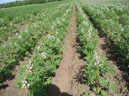 Продам насіння люпину білого власного виробництва