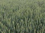 Продам насіння озимої пшениці сорт Селевіта - фото 1