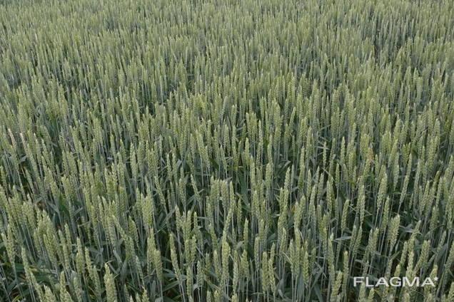 Продам насіння озимої пшениці сорт Селевіта