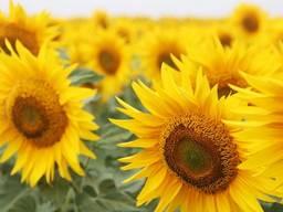 Продам насіння соняшника Французька селекція