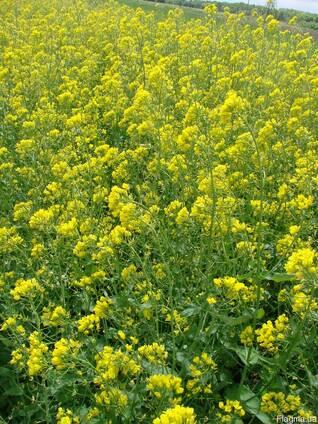 Продам насіння супіриці озимої власного виробництва