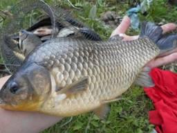 Продам оптом рыбу живую