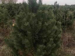 Продам отборные елки и сосны оптом