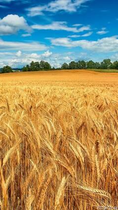Продам отруби, пшеницу,ячмень, кукурузу, макуху,овес