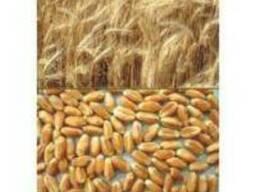Продам озимая пшеница Сорт Графиня