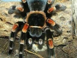 Продам пауки птицееды брахипельма смити