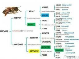 Продам пчеломатки бакфаст прошли тестирование в Украине