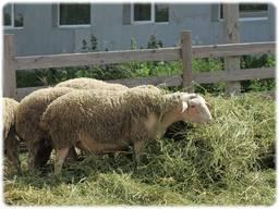 Продам племенных овец французской молочной породы ЛАКОН (lac