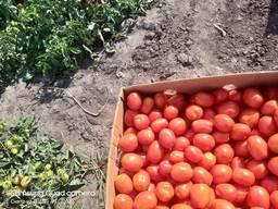 Продам помидор, сорта сливка и кругляк, обьёмами, фермер. - фото 3