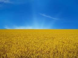 Продам пшеницу 2 , 3 , 6 класс на условиях FOB