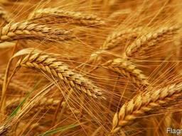 Продам пшеницу 2 класс
